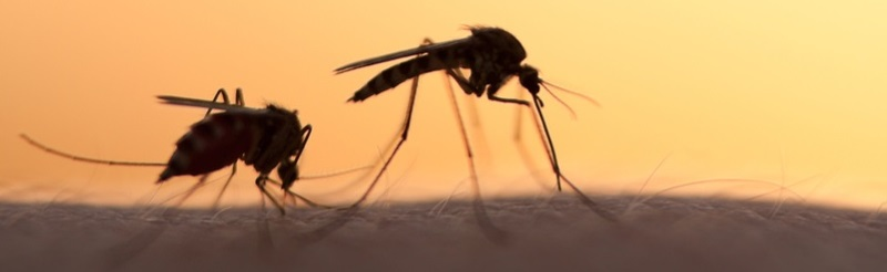 Genetikailag módosított szúnyogokat engedtek szabadon Floridában